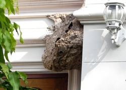 The old large nest of paper wasp, house in Chiang Mai, Thailand