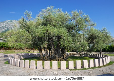 The Old Olive Tree, a symbol of the city of Bar, is the oldest tree in Europe, Montenegro
