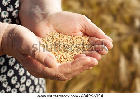 The old woman hand is holding the wheat grain in the golden hour #684966994