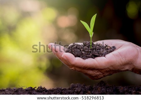 The old woman's hands are planting the seedlings into the soil. #518296813