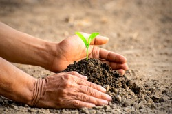 The old woman's hands are planting the seedlings into the soil, ecology concept.