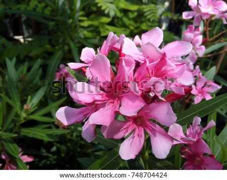 the oleander nerium oleander in tropical garden ez canvas