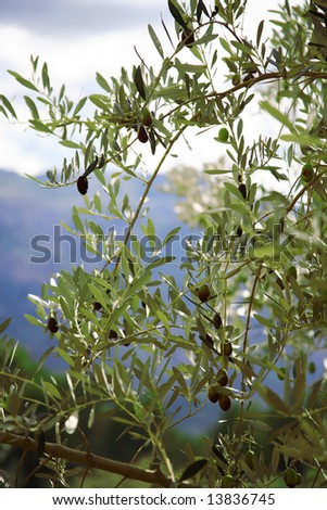 The olive-tree in the mountains