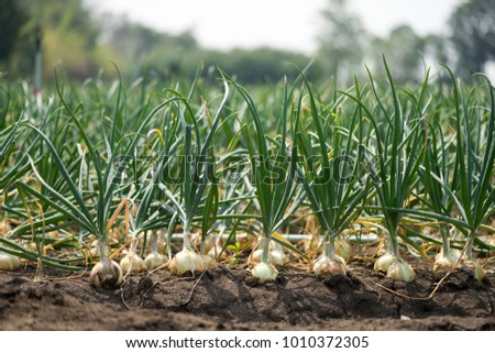 The onion is grown on the soil in the plots. Productivity of Thai farmers.