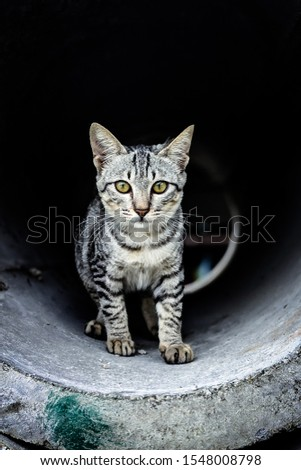 The only domesticated species in the family Felidae and often referred to as the domestic cat to distinguish it from wild members of the family.