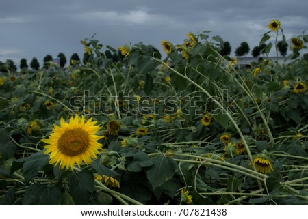 The Only One Sunflower is Alive While the Others are Dead after Typhoon in Japan #707821438