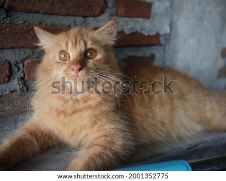 The orange cat looking soemthing Foto stock ©