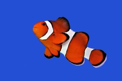 The orange clownfish (percula clownfish,clown anemonefish, anemonefishes) on isolated blue background. Amphiprion percula is widely known as a popular aquarium fish.