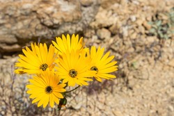 The orange colored Namaqua Widowseed daisies (Hyoseroides Asteraceae) in full bloom in the Namaqualand Veld, in Goegap Nature Reserve, South Africa