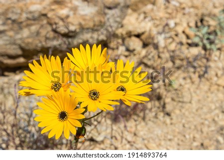 The orange colored Namaqua Widowseed daisies (Hyoseroides Asteraceae) in full bloom in the Namaqualand Veld, in Goegap Nature Reserve, South Africa Stockfoto ©