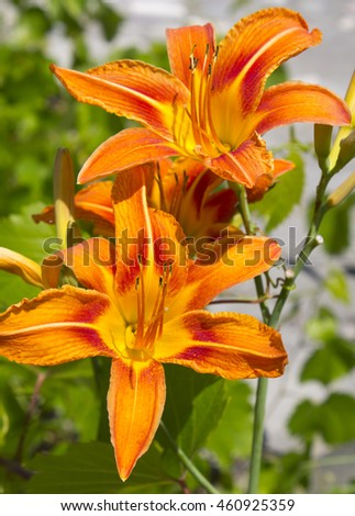 The orange day-lily in bloom.