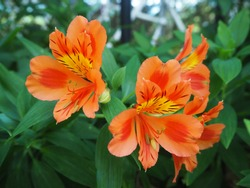 The orange flowers is blooming at Chiengmai Thailand