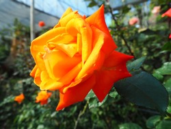 The orange rose flower is blooming in the garden at Chiengmai Thailand