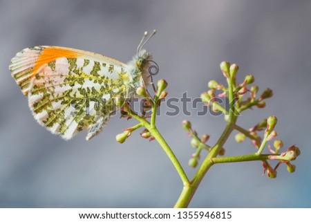The Orange tip butterfly (Anthocharis cardamines)