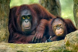 The orangutans (also spelled orang-utan, orangutang, or orang-utang) are three extant species of great apes native to Indonesia and Malaysia.