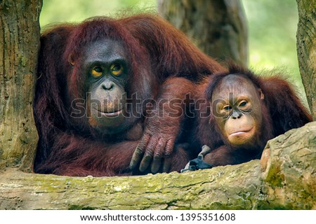 Photo of  The orangutans (also spelled orang-utan, orangutang, or orang-utang) are three extant species of great apes native to Indonesia and Malaysia.