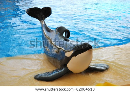 The orcas show in Loro Parque, Tenerife island, Spain - stock photo