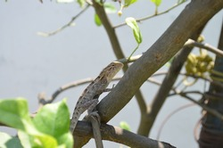 The Oriental garden lizard, bloodsucker, eastern garden or changeable lizard (Calotes versicolor) is an agamid lizard. A common state in which it may be seen is ,seated on a hedge or bush. India.