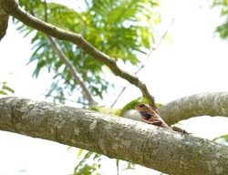 The Oriental garden lizard (calotes versicolor) is an insectivorous lizard found in indonesia and Malaysia
