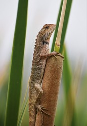The oriental garden lizard, eastern garden lizard, bloodsucker or changeable lizard (Calotes versicolor) is an agamid lizard found widely distributed in indo-Malaya.