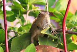 The oriental garden lizard, eastern garden lizard, bloodsucker or changeable lizard is an agamid lizard found widely in the garden, Tamil Nadu in India