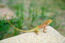 The oriental garden lizard, eastern garden lizard or changeable lizard (Calotes versicolor) in front yard.