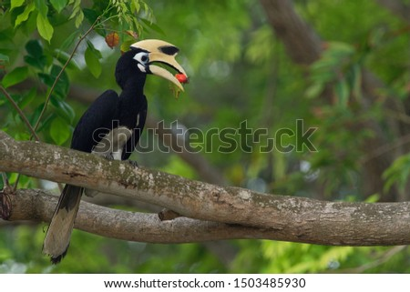 The oriental pied hornbill (Anthracoceros albirostris) is an Indo-Malayan pied , a large canopy-dwelling bird belonging to the Bucerotidae family.