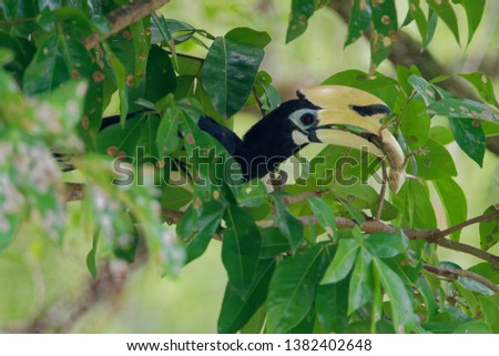 The oriental pied hornbill (Anthracoceros albirostris) is an Indo-Malayan pied hornbill, a large canopy-dwelling bird belonging to the Bucerotidae family. Playing with prey. Changeable Lizard