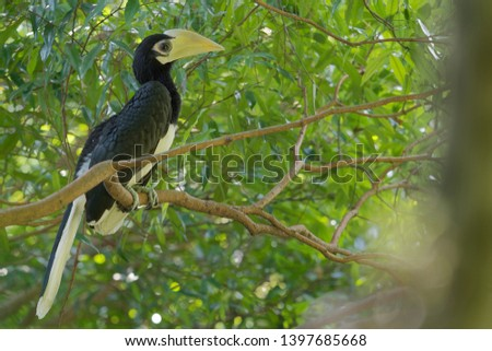 The oriental pied hornbill (Anthracoceros albirostris) is an Indo-Malayan pied hornbill, a large canopy-dwelling bird belonging to the Bucerotidae family. Youngh. Chick