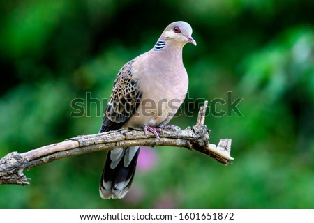 The oriental turtle dove or rufous turtle dove is a member of the bird family Columbidae. The species has a wide native distribution range from Europe, east across Asia to Japan.  Zdjęcia stock ©