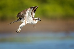 The osprey or more specifically the western osprey (Pandion haliaetus) — also called sea hawk, river hawk, and fish hawk — is a diurnal, fish-eating bird of prey with a cosmopolitan range.