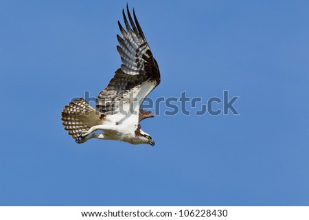 The Osprey (Pandion haliaetus), sometimes known as the sea hawk, fish eagle or fish hawk, is a diurnal, fish-eating bird of prey.