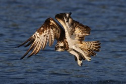 The Osprey, the only species in the family Pandionidae,A fishing specialist, the Osprey is well adapted to its way of life. These birds dive from the air to capture fish near the water's surface.