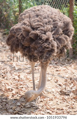 Shutterstock The ostrich is either one or two species of large flightless birds native to Africa, the only living member(s) of the genus Struthio, which is in the ratite family