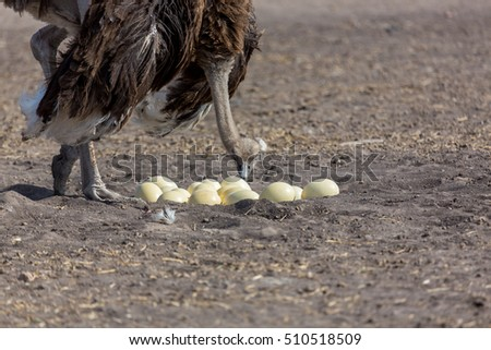 Shutterstock The ostrich or common ostrich is either one or two species of large flightless birds native to Africa, the only living member of the genus Struthio, which is in the ratite family.