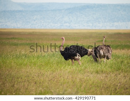 Shutterstock The ostrich or common ostrich (Struthio camelus) is either one or two species of large flightless birds native to Africa. ostrich family in wildlife.
