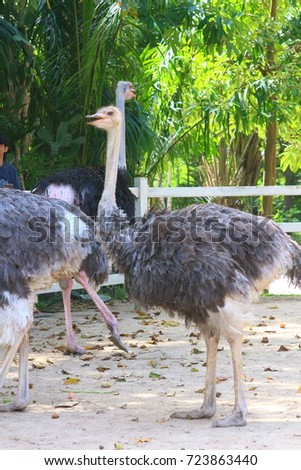 Shutterstock The ostrich or common ostrich (Struthio camelus) is either one or two species of large flightless birds native to Africa, the only living member of the genus Struthio, which is in the ratite family.