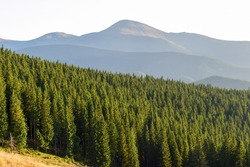 The outlines of Mount Hoverla, spruce forest, side view