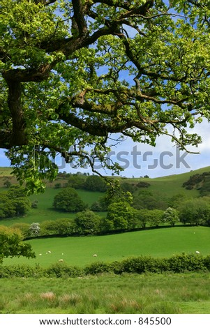 The overhead branches of an oak tree in springtime, with sheep, meadows, trees and flowering hawthorns beyond.