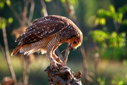 The owl catches the prey of the small lizard, animal closeup, Owls in hunt