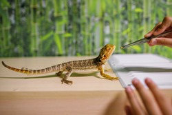 The owner feeds the lizard with special food with tweezers, looks after reptiles at home, an amphibian living in a terrarium, a modern dragon, a place for text