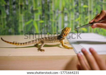 Photo of  The owner feeds the lizard with special food with tweezers, looks after reptiles at home, an amphibian living in a terrarium, a modern dragon, a place for text