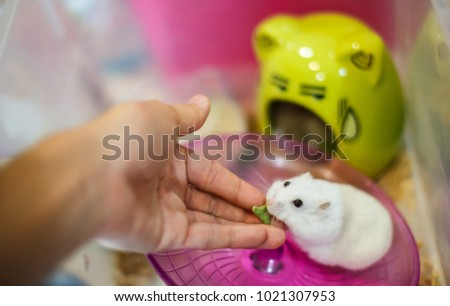 The owner hand feeds Cute Winter White Dwarf Hamster with pet food. The Winter White Hamster is also known as the Winter White Dwarf, the Djungarian or the Siberian Hamster.