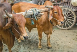 The ox cart in Asia.