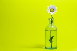 The ox-eye daisy, or oxeye daisy, or dog daisy (Leucanthemum vulgare) in the glass on background of yellow.  wildflowers card, horizontal arrangement.
