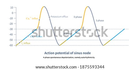 The pacemaker cells of the sinus node can spontaneously generate action potentials, that is, 4-phase spontaneous depolarization. Sinus node is the master of human heart rate.