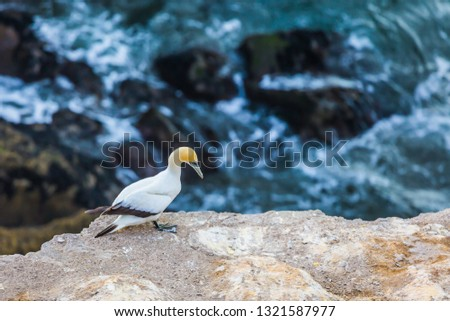The Pacific Ocean in New Zealand. Australian gannet. Sunset. Concept of active and ecological tourism