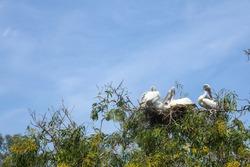 The Painted Stork bird family on big nest tree