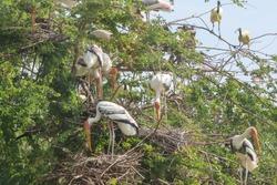 The Painted Stork bird (Mycteria leucocephala) and flapper on big nest dry tree
