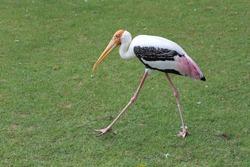 The Painted Stork bird (Mycteria leucocephala) is walking in garden